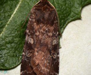 Cerastis leucographa