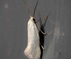 Elachista argentella